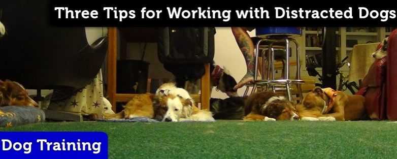 Three Tips for Working with Distracted Dogs