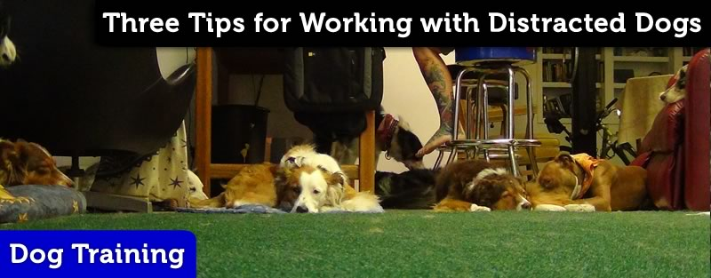 Working with Distracted Disc Dogs
