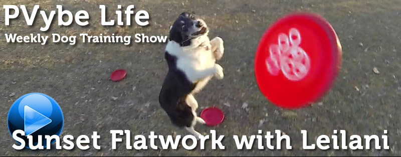 disc dog flatwork with border collie
