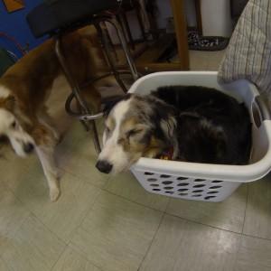 Aussie Sleeping in Laundry Basket